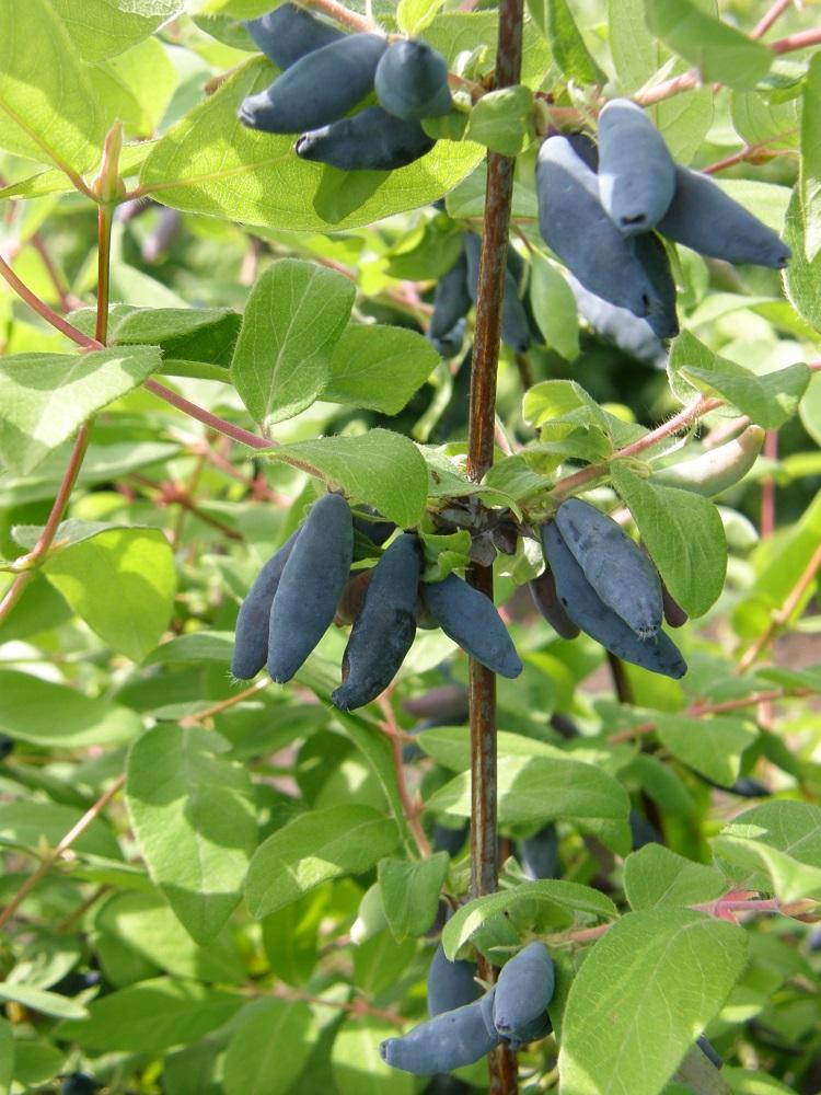 Выращивание жимолости сорта 89