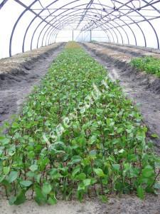 Укоренение подвоев груши зелеными черенками
