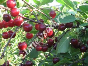 Сорт вишни Апухтинская