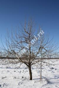 Дерево Елена