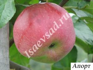 Сорт яблони Апорт