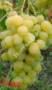 Сорт винограда Лора