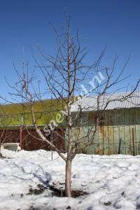 Дерево сорта Северный синап (7лет), крона разреженно-ярусная