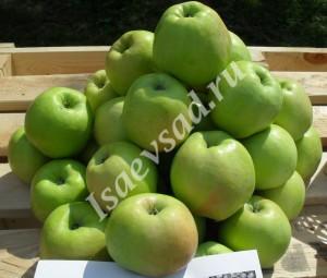 Плоды сорта Антоновка обыкновенная