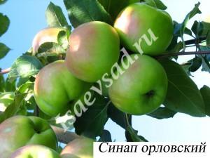 sinap-orlovskiy