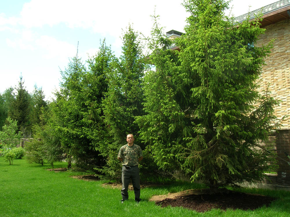 Деревья для ландшафтного дизайна. Посадка деревьев и
