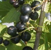 Смородина черная сорт Зеленая дымка