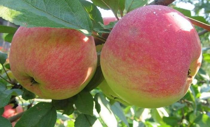 Яблоня сорт Melba