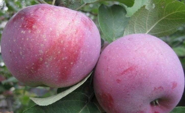 Яблоня сорт Лобо