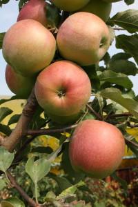 Сорт яблони Лигол