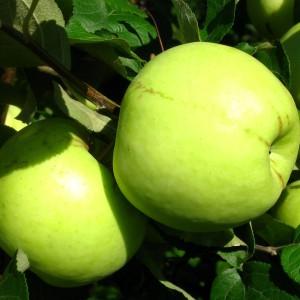 Сорт яблони Антоновка обыкновенная