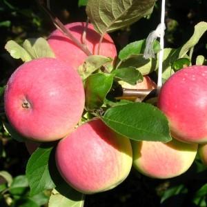 Сорт яблони Вишневая