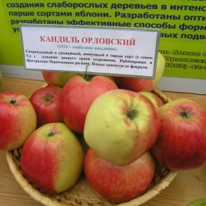 Сорт яблони Кандиль орловский