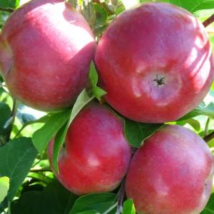 Сорт яблони Лобо