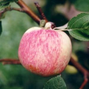 Сорт яблони Мелба