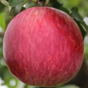 Сорт яблони Орловское полосатое