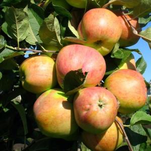 Сорт яблони Осеннее полосатое