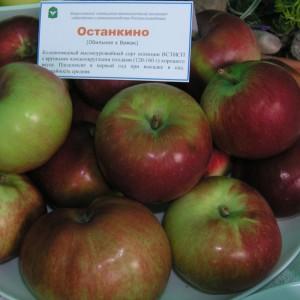 Сорт яблони Останкино