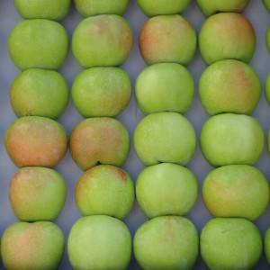 Сорт яблони Северный синап