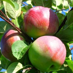 Сорт яблони Спартан