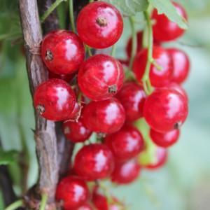 Сорт смородины красной Газель