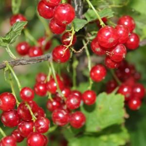 Сорт смородины красной Мармеладница