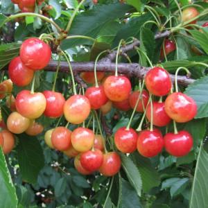 Сорт черешни Розовый жемчуг