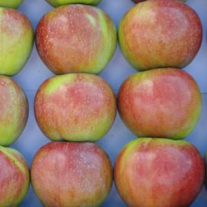 Сорт яблони Россошанское полосатое