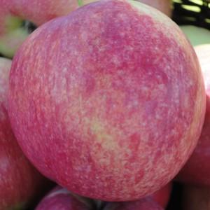 Сорт яблони Слава победителям