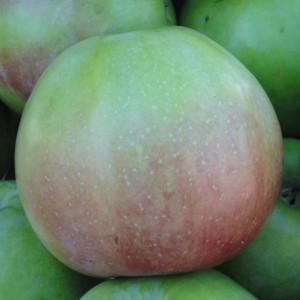 Сорт яблони Апрельское